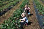 Strawberry Picking at Obermiller's